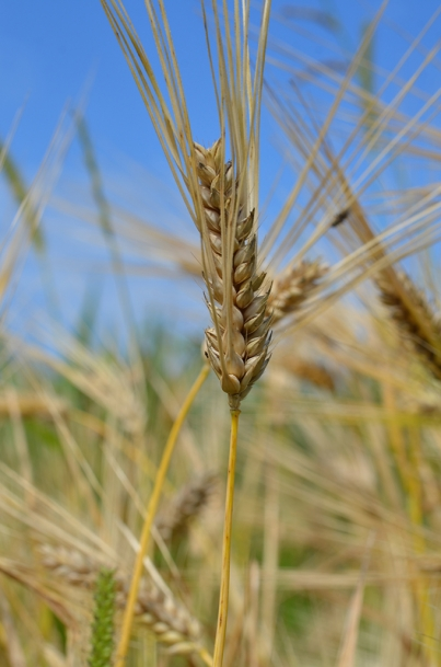 Faust barley is just one of the heritage grains being grown at Against the Grain Farm.